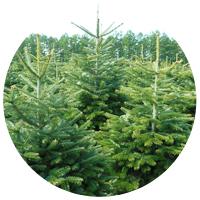 Sapins Noël naturels fournisseur Abies Nordmann Epicéa